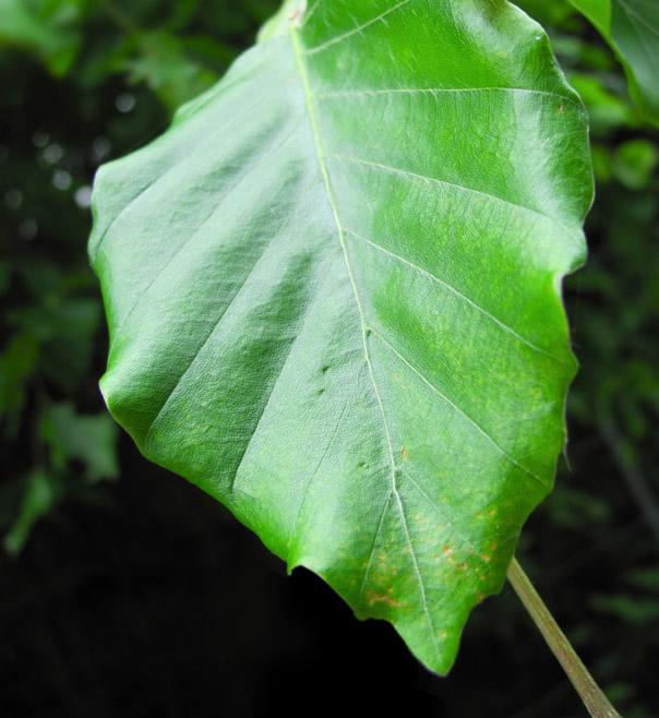 Drewno drzew liściastych - cechy i zastosowanie cz.2